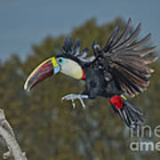 Red-billed Toucan Poster