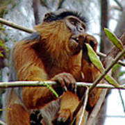 Red Colobus Monkey Poster