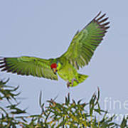Red-crowned Parrot Poster