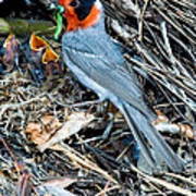 Red-faced Warbler At Nest With Young Poster