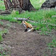 Red Fox In Yellowstone Poster