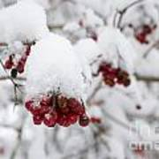 Red Fruit With Snow Poster
