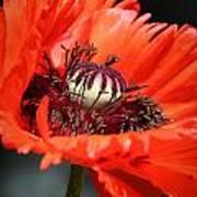 Red Orange Poppy Poster
