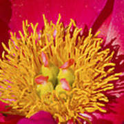 Red Peony Flower Poster