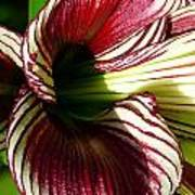 Red Striped Lily Poster