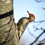 Redbelly Woodpecker Poster