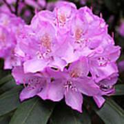 Rhododendron  ' Roseum Elegans ' Poster