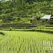 Rice Fields In Bali Indonesia Poster