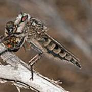 Robber Fly And Prey Poster