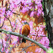 Robin In A Red Bud Tree Poster