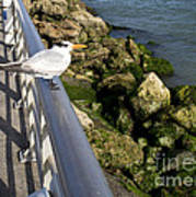 Royal Tern In Florida Poster