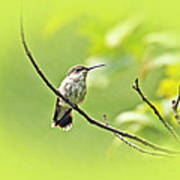 Ruby-throated Hummingbird - Immature Female - Archilochus Colubris  Poster