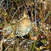 Ruffed Grouse On Drumming Log Poster