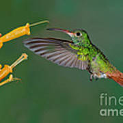 Rufous-tailed Hummer Poster
