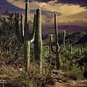 Saguaro Cactuses In Saguaro National Park Poster