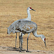 Sand Hill Cranes Eating Poster