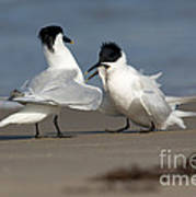 Sandwich Tern Bringing Fish To Its Mate Poster