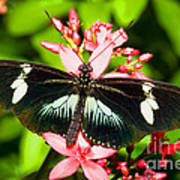 Sapho Longwing Butterfly Poster