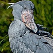 Shoebill Stork Poster