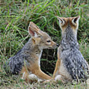 Silver-backed Jackal Pups Poster