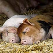 Sleeping Hogs  Poster