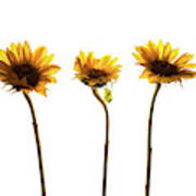 Small Sunflowers Or Helianthus Poster