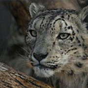 Snow Leopard 14 Poster