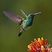 Snowy-bellied Hummingbird Poster
