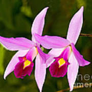 Sophronitis Orchid Poster