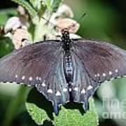 Spicebush Swallowtail Papilio Troilus Poster