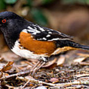 Spotted Towhee Pipilo Maculatus Poster