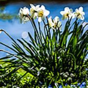 Spring Daffodils. Park Keukenhof Poster by Jenny Rainbow