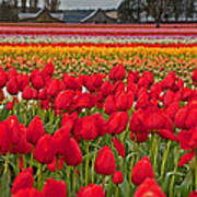 Springtime Tulip Field Art Prints Poster