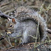 Squirrel With Peanut Poster