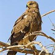 Steppe Eagle Aquila Nipalensis Poster