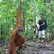 Sumatran Orangutan Poster