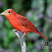 Summer Tanager Poster