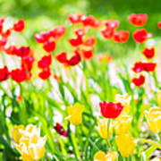 Sun Drenched Tulips - Featured 3 Poster