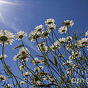 Sun Lit Daisies Poster
