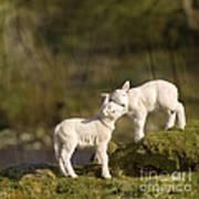 Sweet Little Lambs Poster