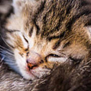 Sweet Small Kitten  Poster