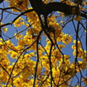Tabebuia Tree Blossoms Poster