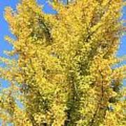 Tall Ginkgo Tree Poster