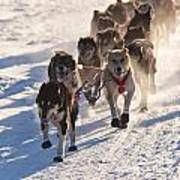Team Of Sleigh Dogs Pulling Poster