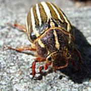 Ten Lined June Beetle Poster