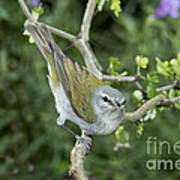 Tennessee Warbler Poster