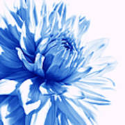 The Blue Dahlia Flower Poster
