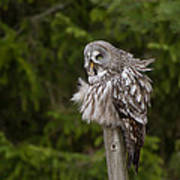 The Great Grey Owl Poster