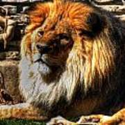 The King Lazy Boy At The Buffalo Zoo Poster