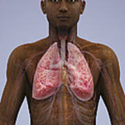 The Lungs And Cardiovascular System Poster